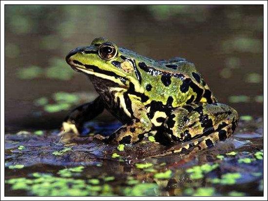 对联:青蛙鼓腹长鸣曲